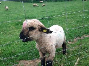 Sam's Lamb
